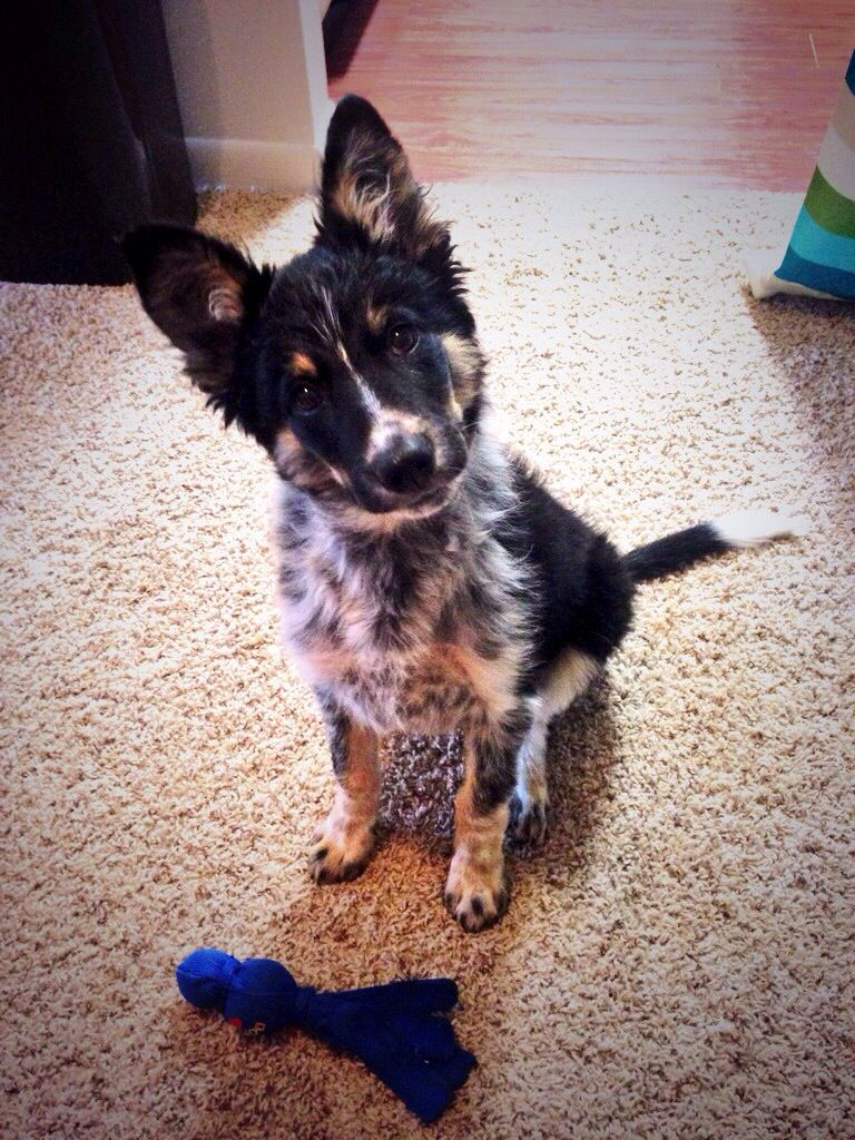 Border Collie Blue Heeler Mix Cute Animals Cute Dogs And Puppies Animals