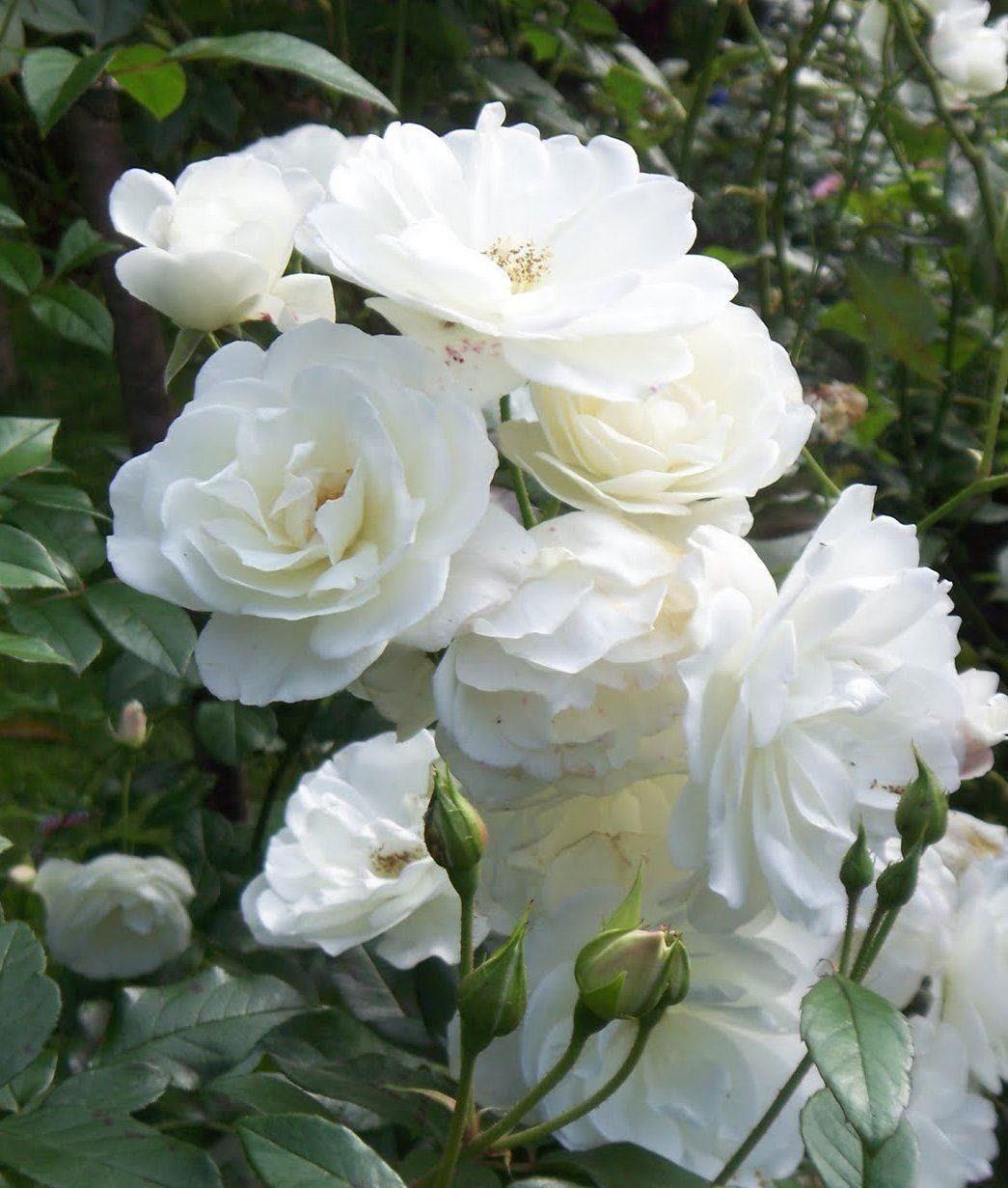 Iceburg Is Famous As One Of The Best White Garden Roses In The World