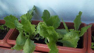 Como cultivar uma hortinha em vasos ou jardineiras