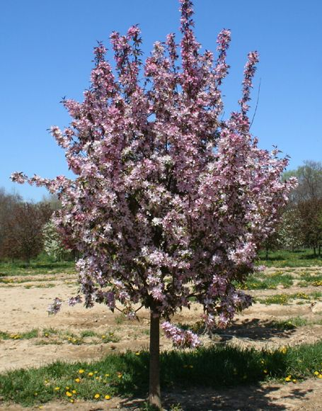 Malus Quot Pink Spires Quot Crabapple Landscaping Pink Trees