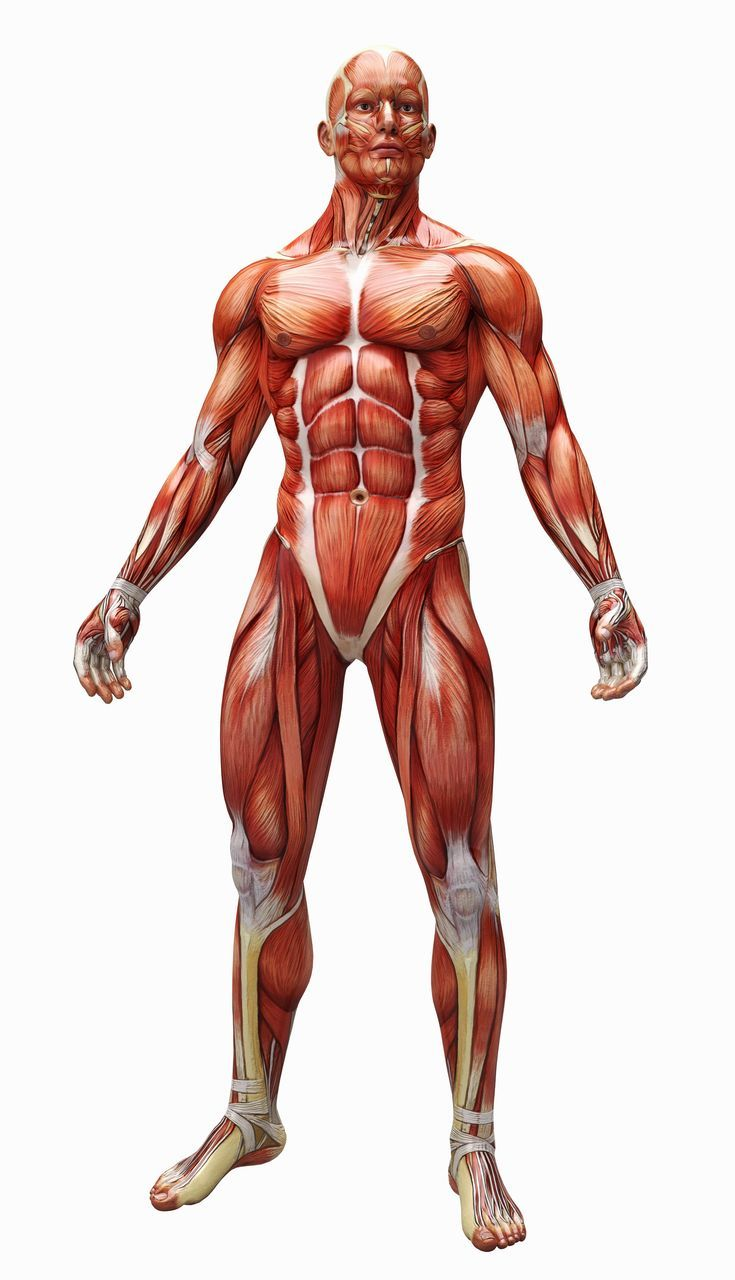 mensch muskeln - Google-Suche   3Gポーズ筋肉   Pinterest