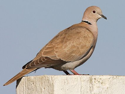 Eurasian Collared Dove - began pushing Morning Doves out of their territory in the Front Range a few years back.  They have a very manic call.  It's kind of irritating!