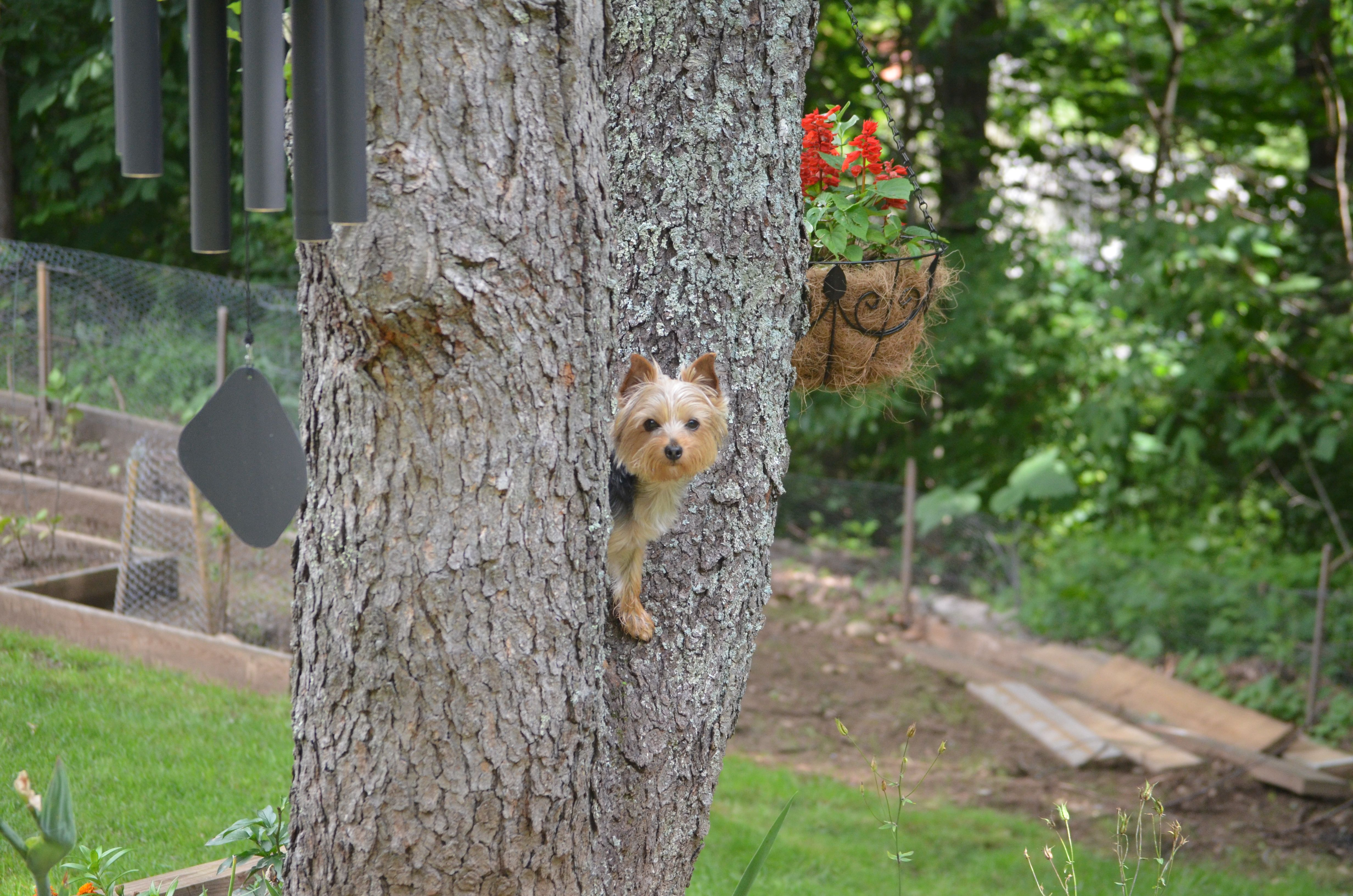 Who said dogs can't climb trees?