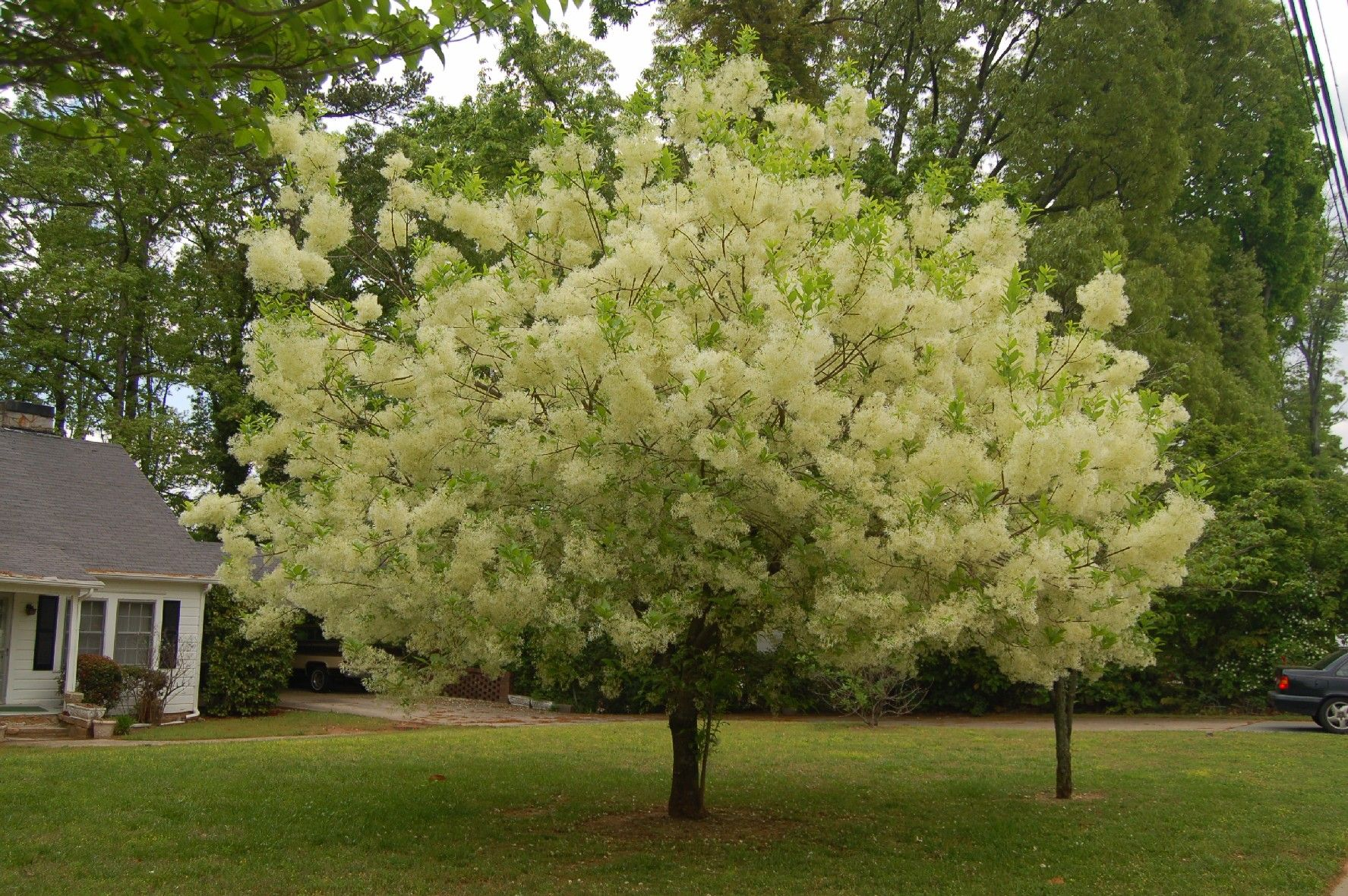 small trees | Fringe Tree Pictures, Facts on Fringe Trees | yard ...