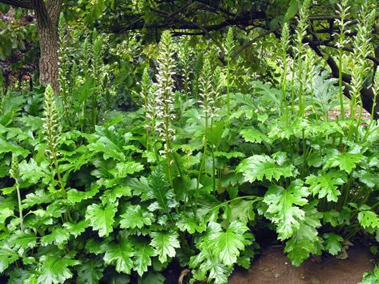 Acanthus Its Stylised Leaves Are Integral Part Of Corinthian