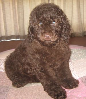 Miniature Poodle Brown Miniature Poodle Poodle Brown Dog