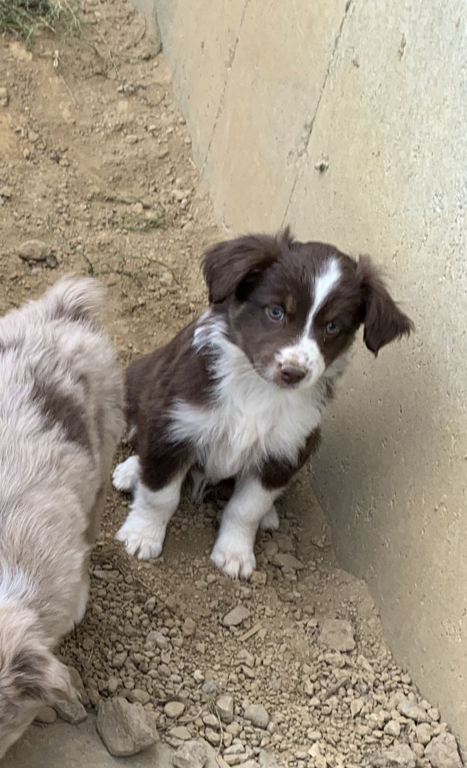 Meet Red Tri Female Mini Australian Shepherd Pup For Sale In Springfield Miniature Australian Shepherd Puppies Puppies For Sale Australian Shepherd Puppies