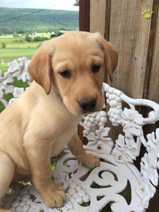 Bonnie Labrador Retriever Puppy For Sale In Belleville Pa