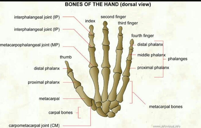 Studying bones for anatomy