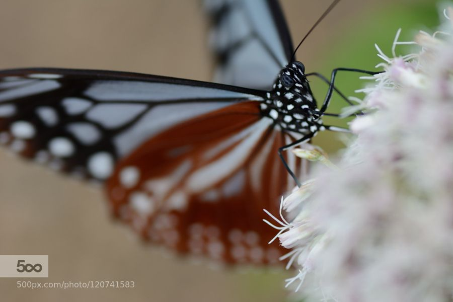 Chestnut Tiger by Tets. Please Like http://fb.me/go4photos and Follow @go4fotos Thank You. :-)
