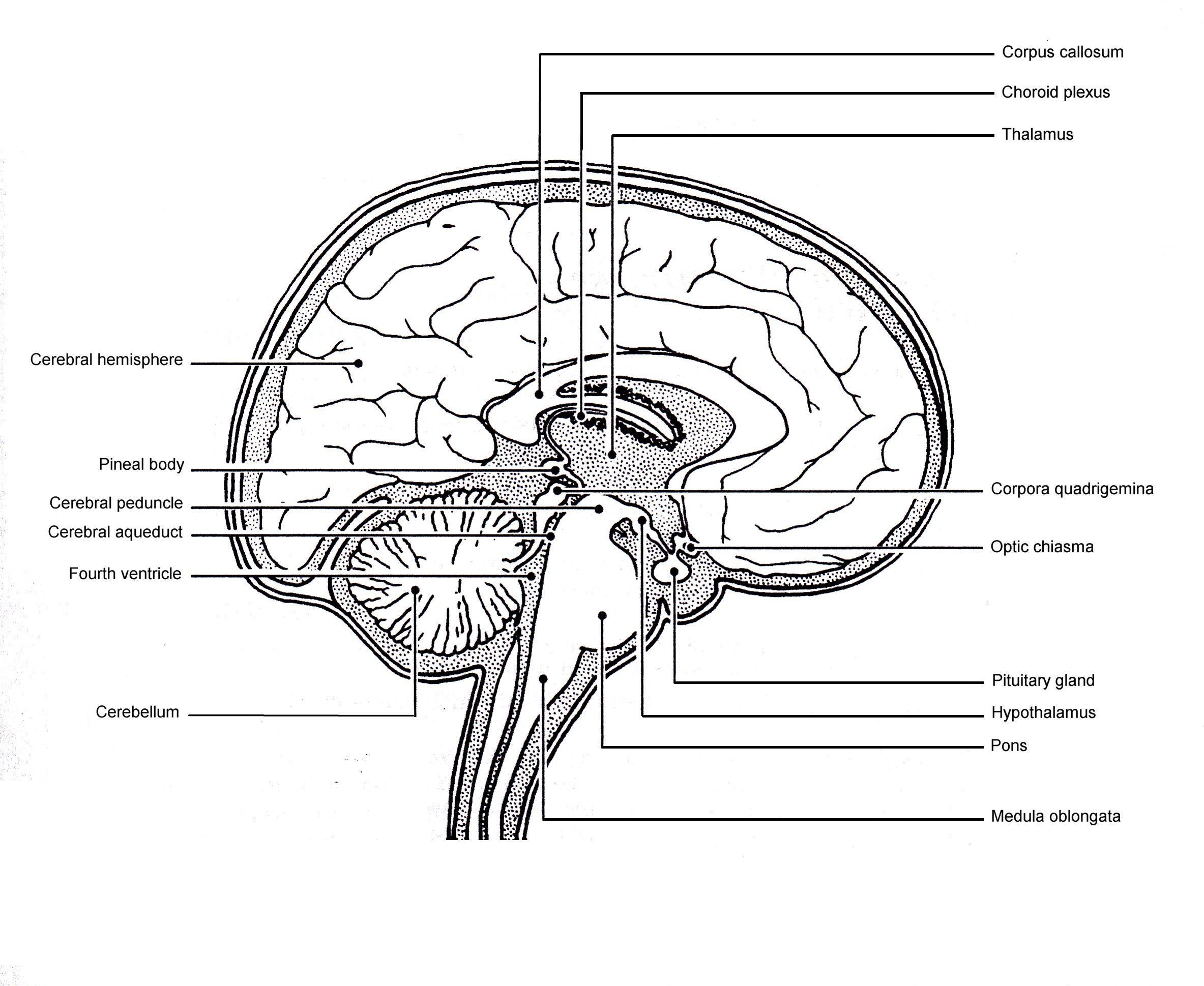 Sagittal View Of Human Brain Labeled Sagittal View Of