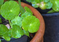 Para Qué Sirve La Centella Asiática Vegetables Plants Health