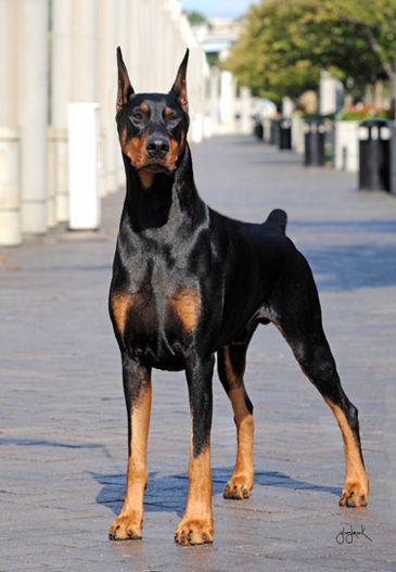 Doberman Bis Biss Gch Jaroe Legend Of Irish Spirit Doberman