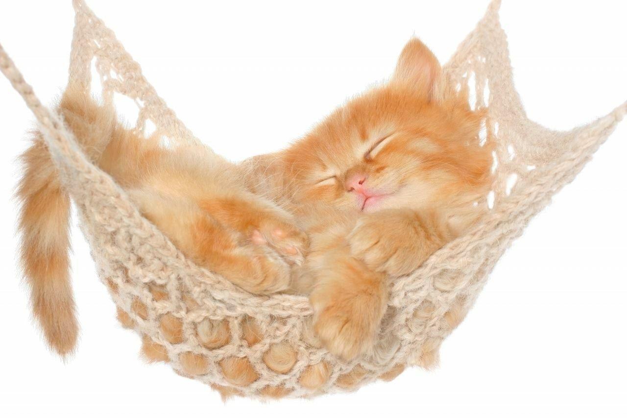 Kitten Ipad Air Wallpaper Cat Hammock Kittens