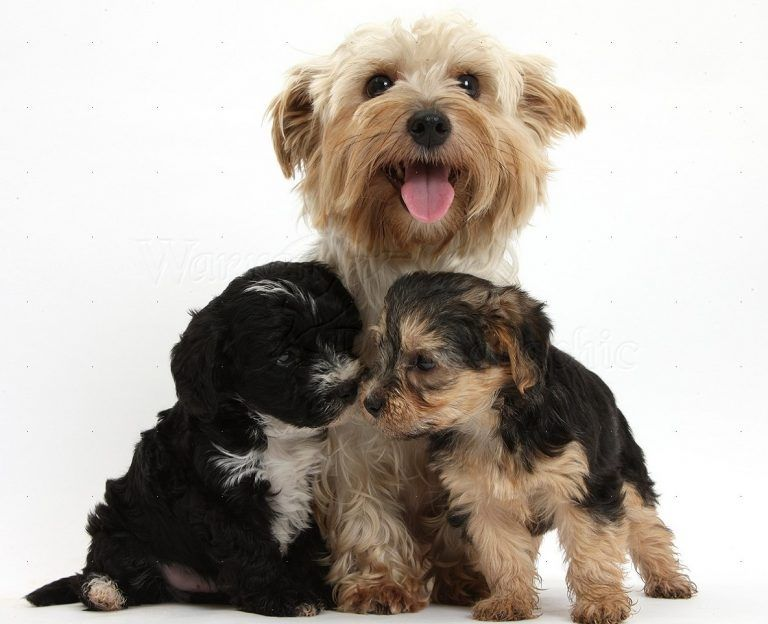 Yorkiepoo Morkiepoo Maltipoo Morkie Puppies For Sale Only The Best In Texas Both Pickup And Air De Morkie Puppies Morkie Puppies For Sale Yorkie Poo