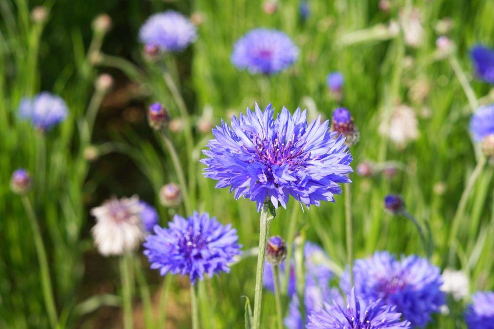 Die Unkraut Luge Die Weltweite Unkrautvernichtung Hat Mittlerweile Die Halfte Aller Wildkrauter Und Heilpflanzen Ausgerottet U Heilpflanzen Pflanzen Unkraut