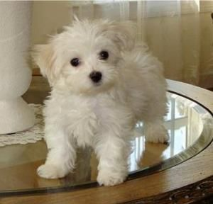 This Is The Exact Photo I Saw Of A Maltese That Made Me Seek Out Getting A Puppy And Now I Have Teacup Puppies Maltese Maltese Puppy Maltese Puppies For Sale