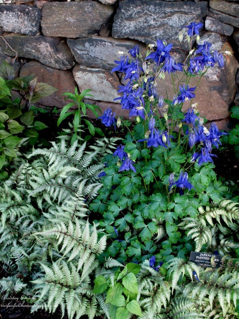 Aquilegia with japanese painted fern and a stone wall japanese