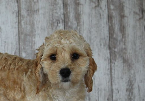 Tucker a male Cavapoo puppy for sale in Shipshewana, IN