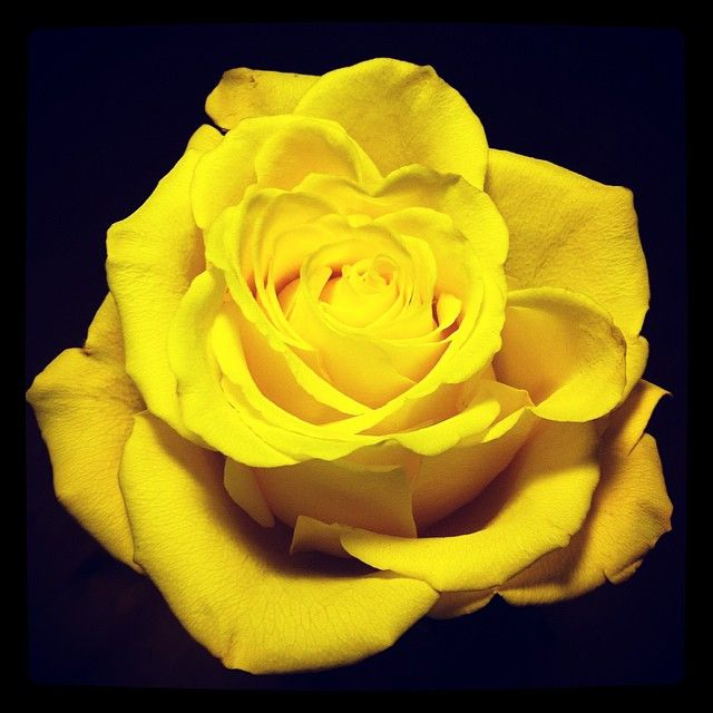 My Girls Brought Me Home A Rose The Other Day Aren T They Sweet Cassandrajones 96 Mandyjones 97 Roses Flowers Yellow Nature R Flowers Rose Beautiful