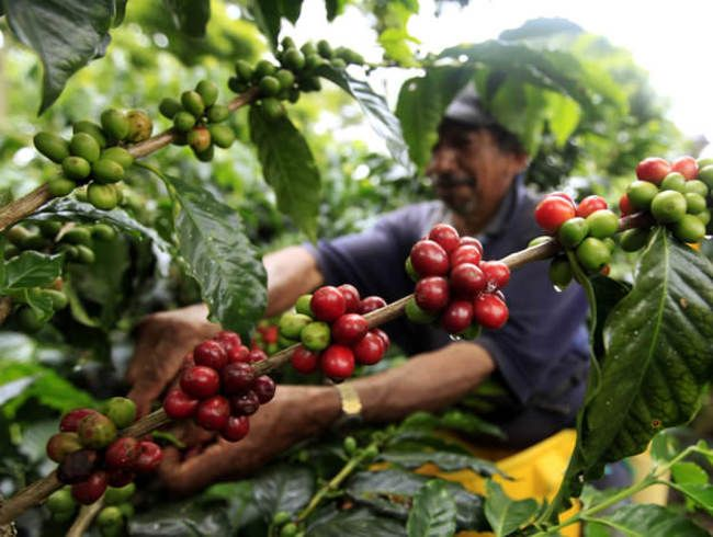 coffee beans being harvested // Distractify | 17 Awesome Facts That You Never Knew About Coffee