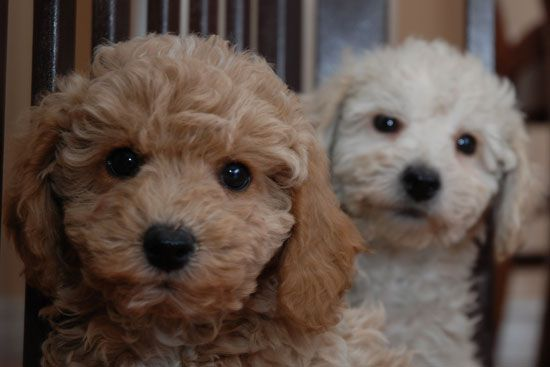Bichon Poo information and Bichon Poo puppies and dogs for ...