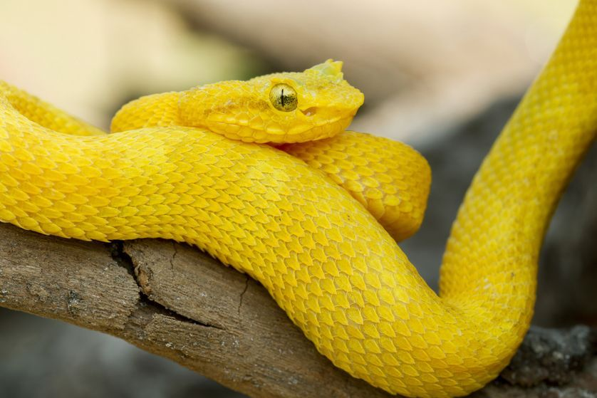 9 gorgeous snake species around the world | Yellow snake, Deadly ...