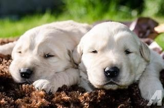 Akc 3 4 English Cream Golden Retriever Puppies Champion Lines Golden Retriever Puppies Akc