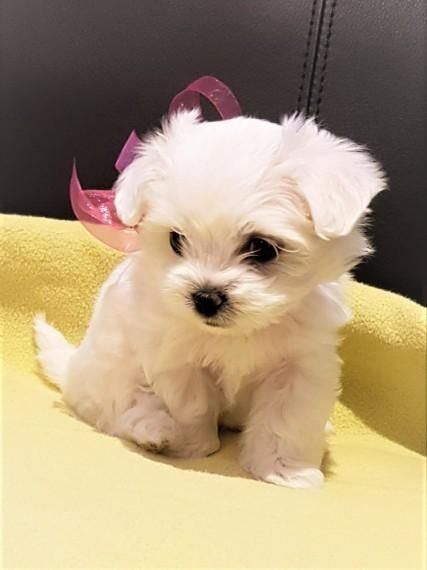 Pin By Ella Welch On Toy Maltese In 2020 Cute Teacup Puppies Teacup Puppies Maltese Puppy