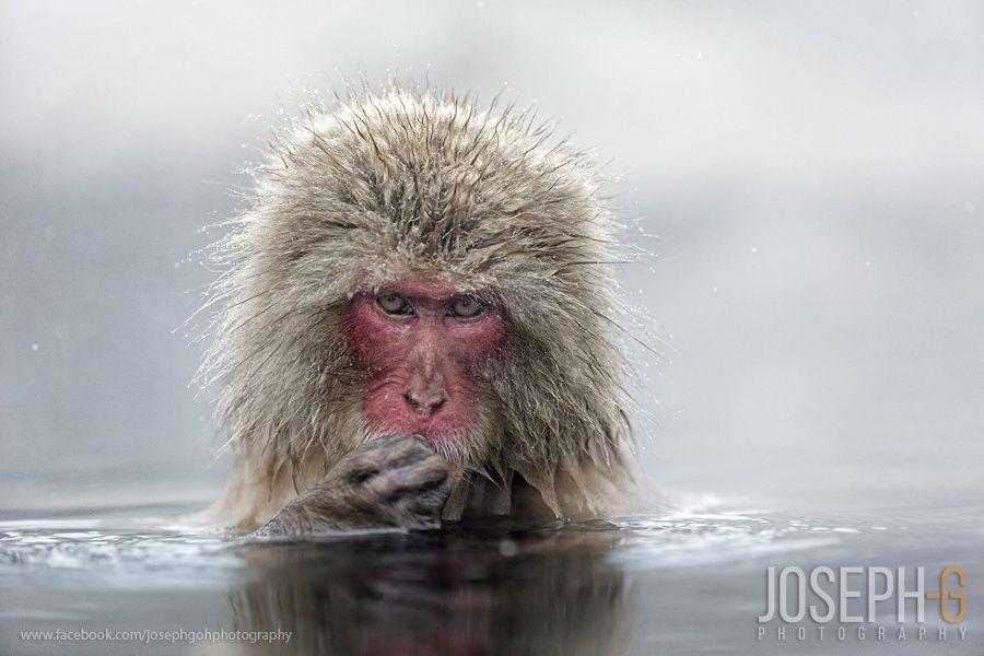 Snow Monkey by Joseph Goh  on 500px