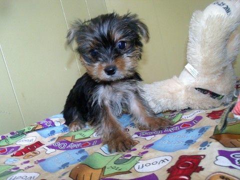 Yorkshire Terrier Puppy For Sale In Paterson Nj Adn 42990 On Puppyfinder Com Gender Male Age 12 Yorkshire Terrier Puppies Terrier Puppy Yorkshire Terrier