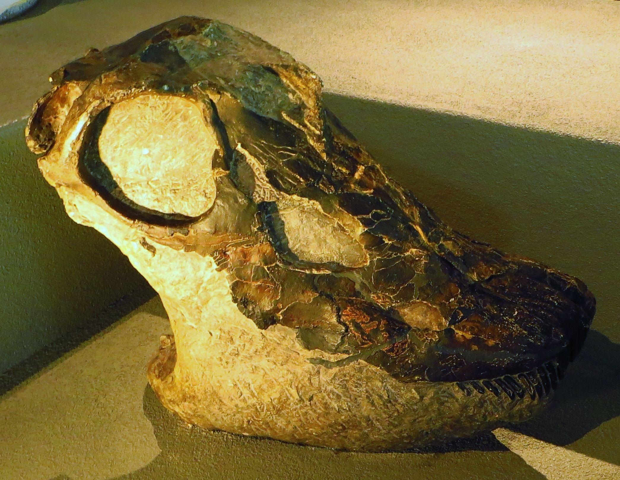 Crâne de Diplodocus sp. Naturalis, Leiden. Dinosauria ...