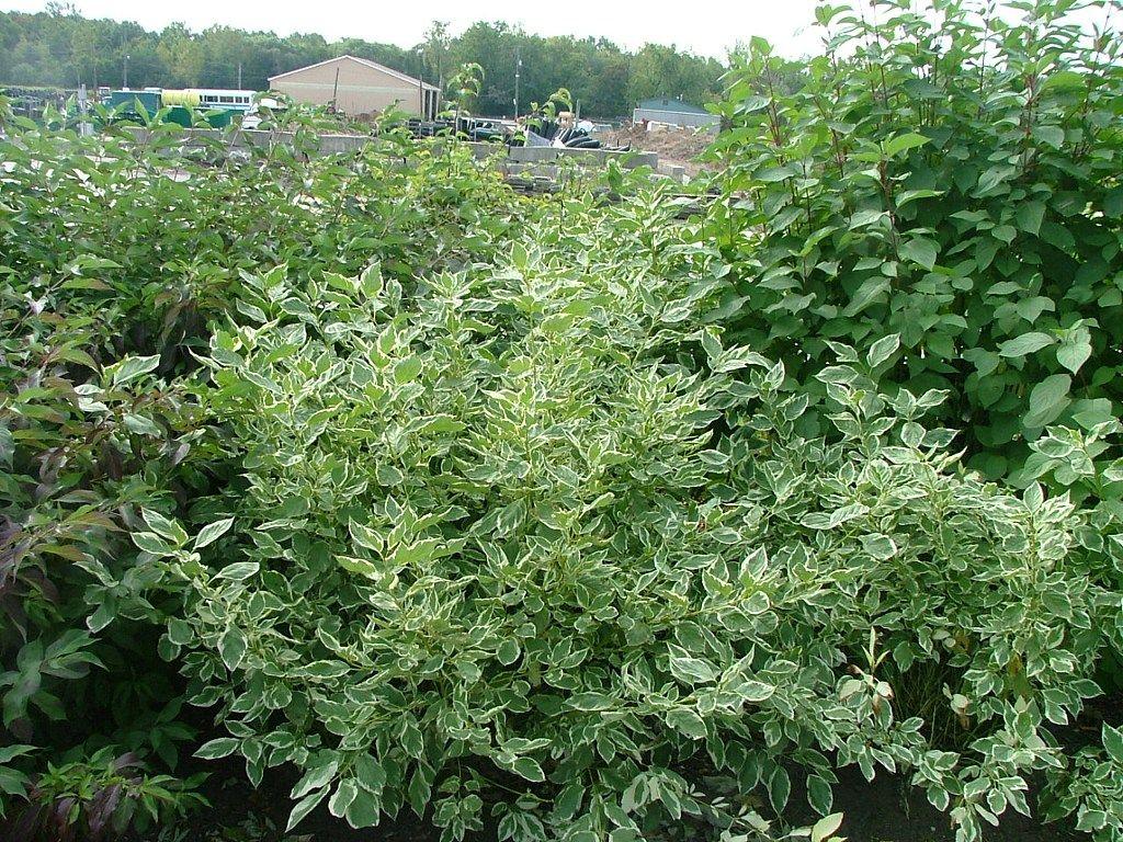 Creme de mint dogwood google search landscaping pinterest