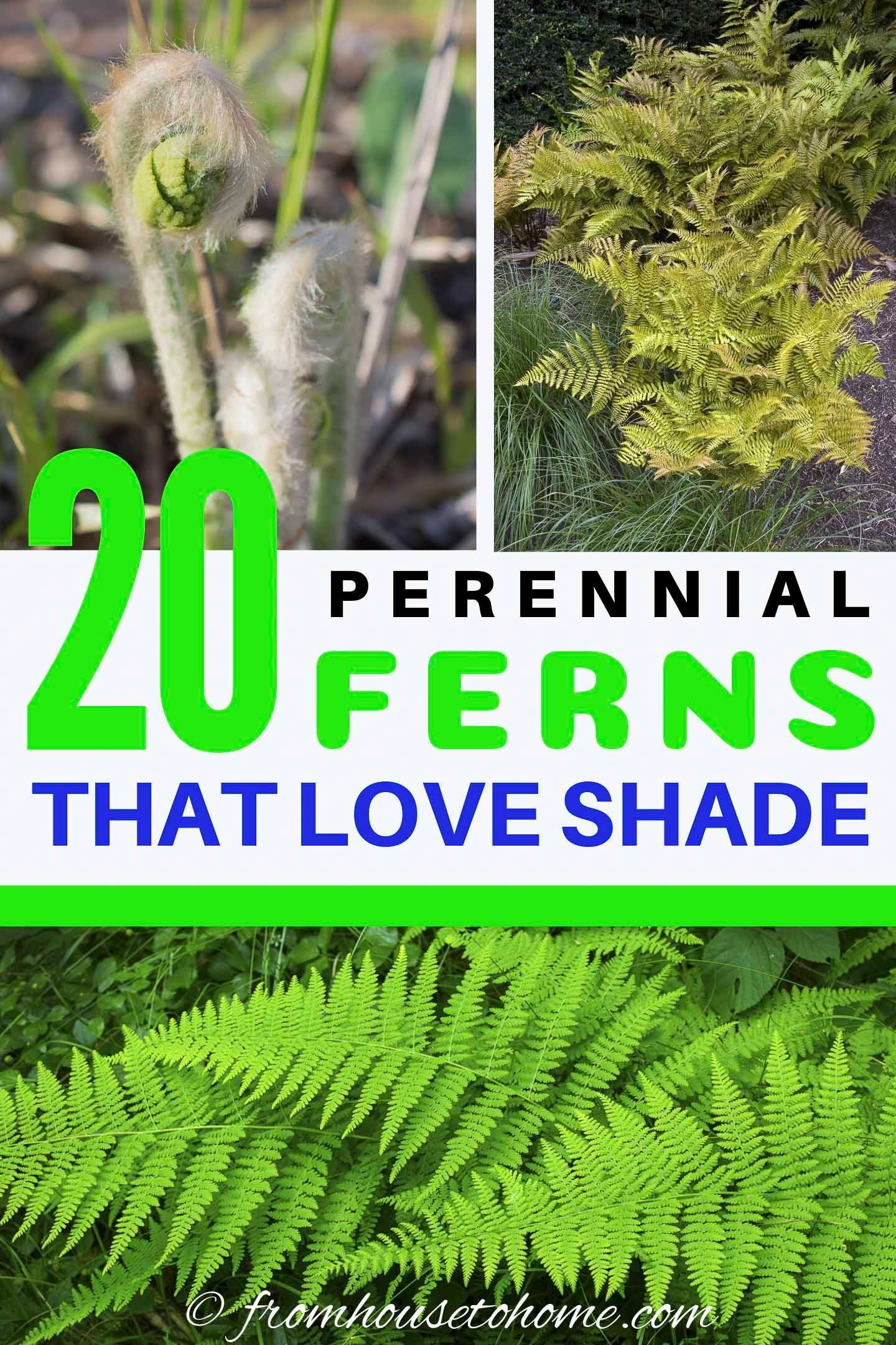 20+ Winter Hardy Fern Varieties – Shade garden plants