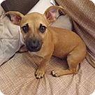 Chantilly, VA - Chihuahua. Meet Triplets Aspen, a for adoption. http://www.adoptapet.com/pet/16467356-chantilly-virginia-chihuahua-mix