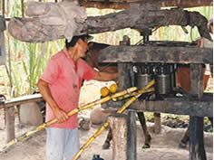 The Cane Is Selected And Transferred To The Trapiche Which Is A Traditional Mill Made From Wood Used To Press The Cane Canas Cana De Azucar Cosas Para Comprar
