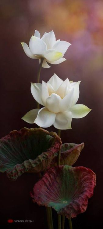 The lotus flower blooms most beautifully from the deepest and windyshadow sanvila lotus flowerswhite mightylinksfo