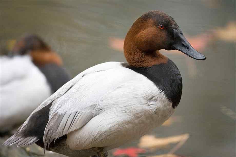 Canvasback Duck Duck Species Bird Hunting Duck Pictures