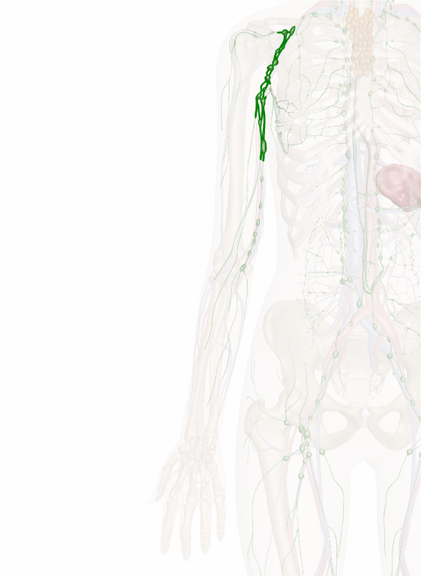 Axillary Nodes | anatomy explorer | Pinterest
