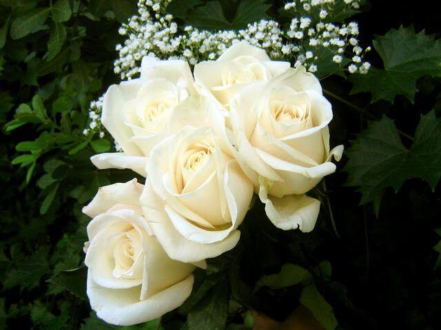 اعشق الورد الابيض White Rose Flower Beautiful Flowers Wallpapers White Flower Wallpaper