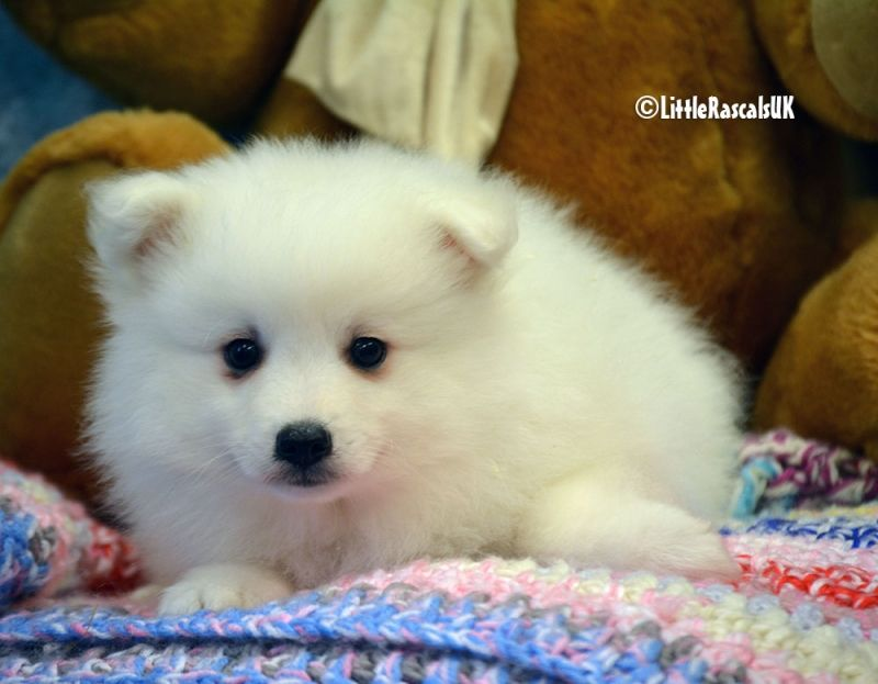 Japanese Spitz Puppies For Sale Little Rascals Pets Ltd Puppies