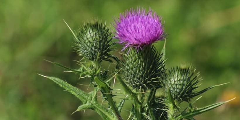 How to manage invasive thistle and improve your soil