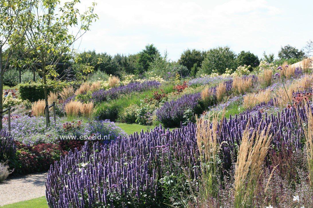 agastache black adder google zoeken plant combinaties pinterest gardens grasses and. Black Bedroom Furniture Sets. Home Design Ideas