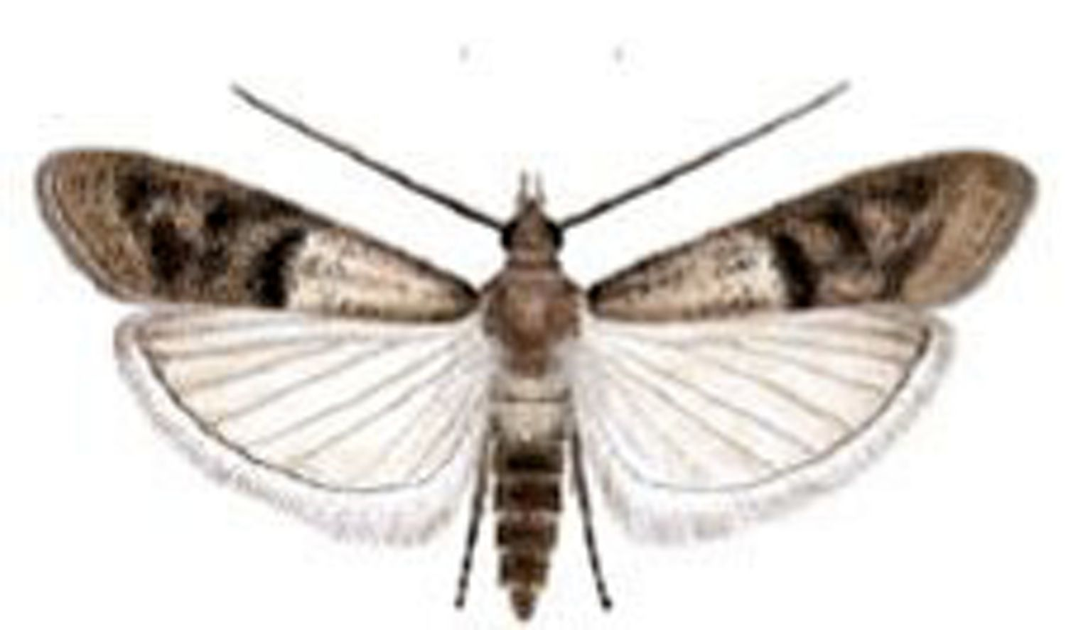 How Can I Get Rid of My Pantry Moth Infestation? | Pantry moths ...