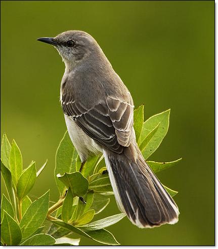Mockingbird Aves Aves De Traspatio Pajaros