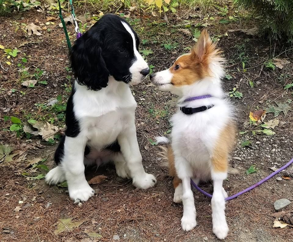 Jules Our 4 Month Old Springer Spaniel With Max The Sheltie Hello There Bright People Are You Dog English Springer Spaniel Puppy Springer Spaniel Sheltie