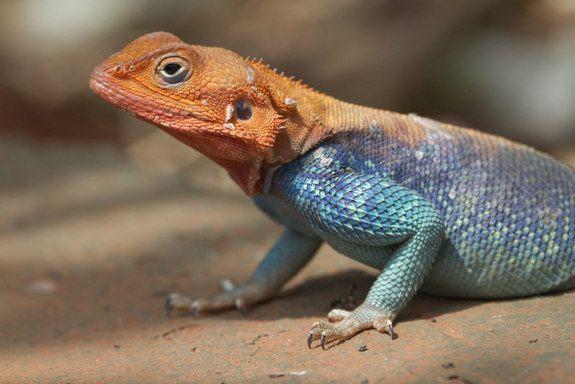 Image Gallery Acrobatic Tricks Of Lizards Robots Lizard Pets Animals