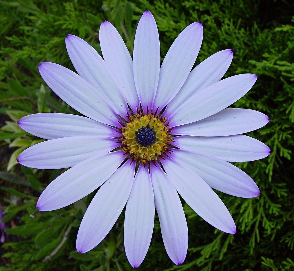 Gallery For Gt Radial Symmetry Flower Symmetry Nature Flowers