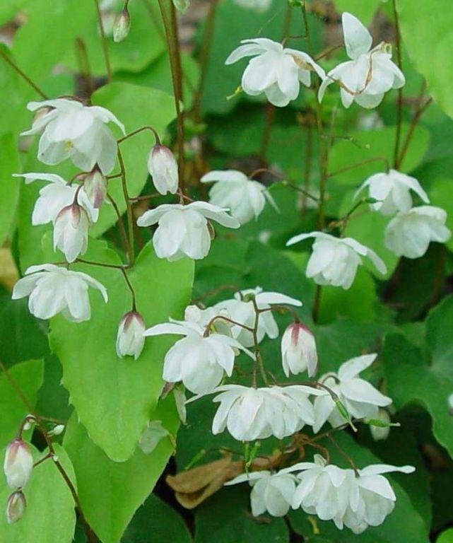 Epimedium \'Conalba\' Alabaster [Common names include fairy wings ...