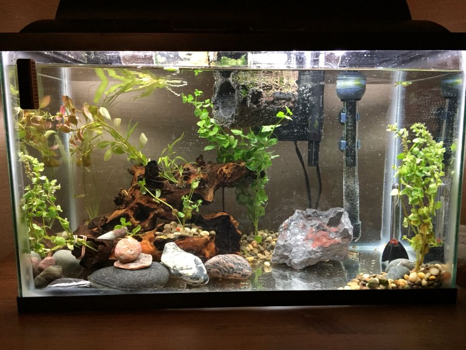 My Current 10g With A Betta Two Ottos And Two Guppies Betta Guppy Aquarium
